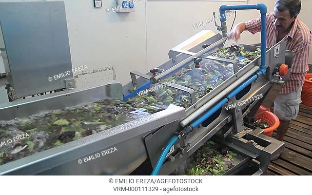 Washing vegetables for packing. Balaguer, Lleida, Catalonia, Spain