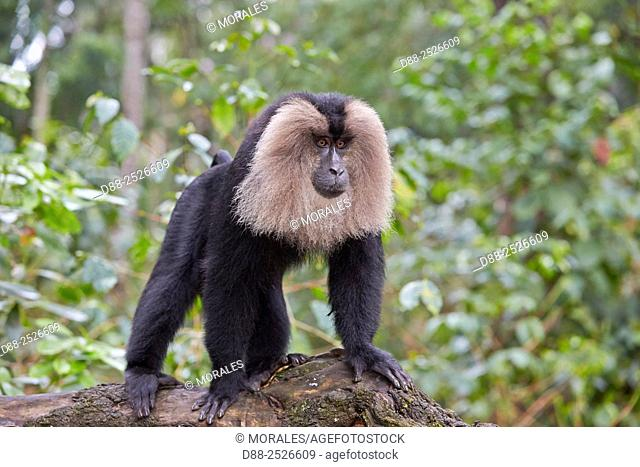 Asia, India, Tamil Nadu, Anaimalai Mountain Range Nilgiri hills, Lion-tailed macaque Macaca silenus, or the Wanderoo, The lion-tailed macaque ranks among the...