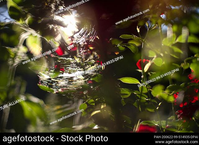 22 June 2020, Berlin: The sun shines through cobwebs on a rose trellis in a garden. This week the summer holidays in Berlin begin