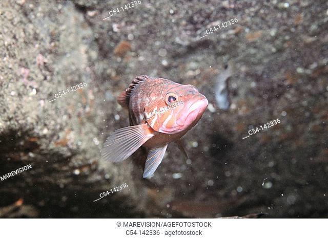 Comber (Serranus cabrilla). Galicia, Spain