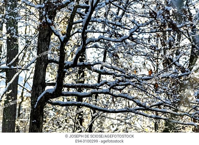 A dusting of snow on tree branches after a snow storm, backlit by the sun. Birmingham, Alabama, USA