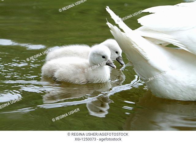 Mute Swan Cygnus olor, two cygnets swimming on lake beside parent bird, Germany