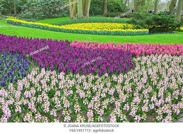 hyacinth blossom in Keukenhof, Lisse, South Holland, Netherlands