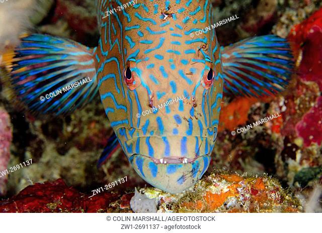 Highfin Coralgrouper (Plectropomus oligocanthus), Night dive, Barracuda Rock dive site, Fiabacet Island, Misool, Raja Ampat (4 Kings), West Papua, Indonesia