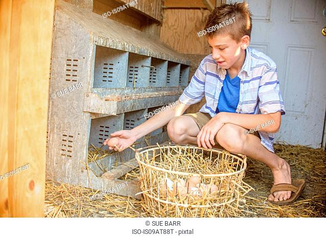 Boy collecting eggs from hen house