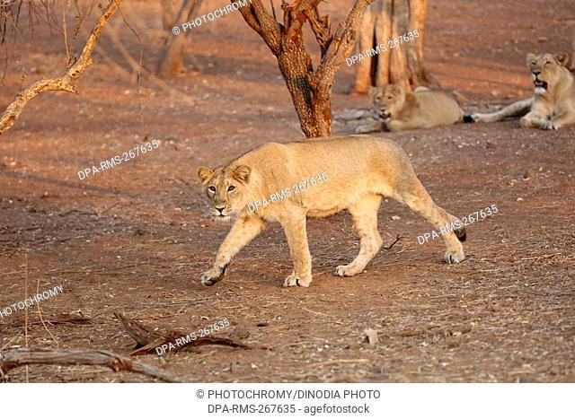 lion cub sasan gir Gujarat India Asia