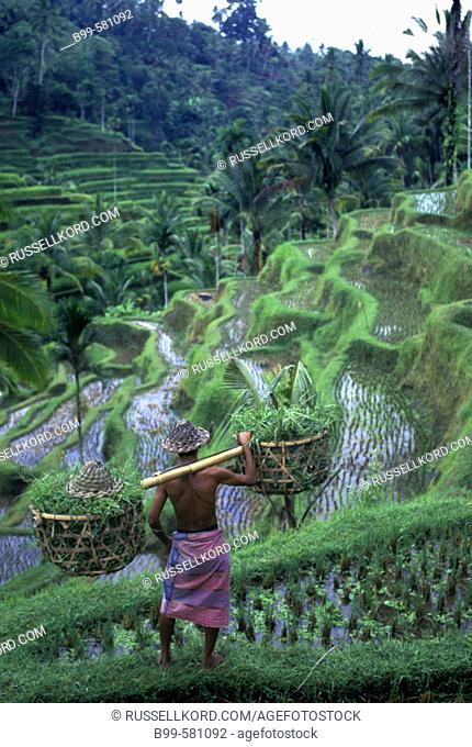 People: Scenic Rice Fields, Pujung, Ubud, Bali, Indonesia