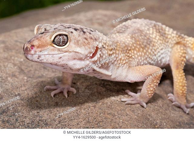Leopard gecko, Eublepharis macularius, native to deserts of Southern Central Asia