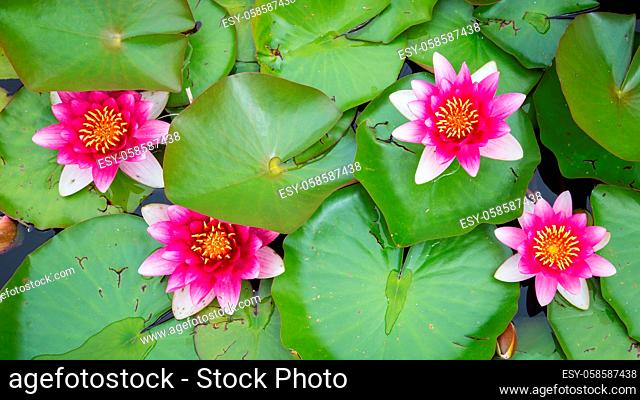 Four blooming pink yellow water lily with lotus leaves