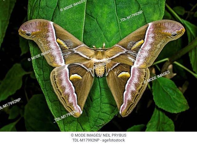 An atlas moth on a leaf with wings outstretched, Attacus Atlas