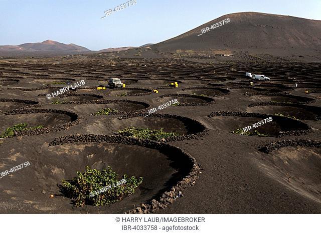 Typical vineyards in dry cultivation in volcanic ash, lava, vines, vineyard La Geria, vintage, Lanzarote, Canary Islands, Spain