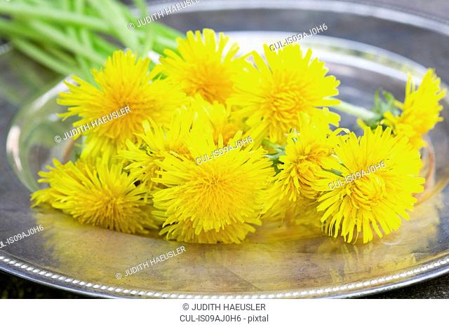 Picked dandelions on a tray (taraxacum officinale). Used in food, drink, herbal medicine