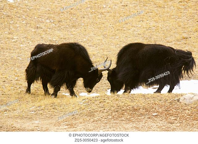 Male Yaks in a fight, Pangong, Jammu and Kashmir, India