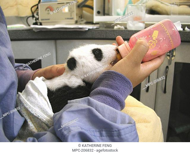 Giant Panda Ailuropoda melanoleuca, endangered, researcher feeding baby with a bottle at the China Conservation and Research Center for the Giant Panda