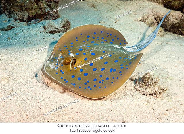 Bluespotted Ribbontail Ray, Taeniura lymma, St  Johns, Red Sea, Egypt