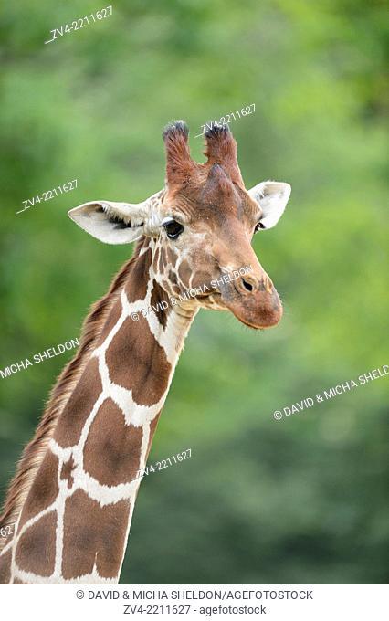Portrait of a reticulated giraffe (Giraffa camelopardalis reticulata) in spring