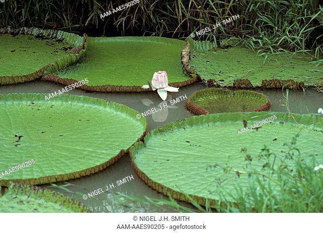 Amazon Water Lily (Victoria amazonica) Bloom, Amazonia, Brazil