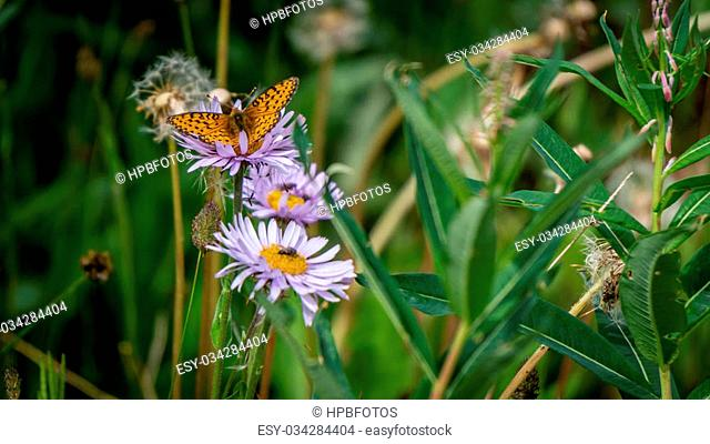 Pearl Bordered Fritillary on Aster Flowers in the High Alpine of Tod Mountain
