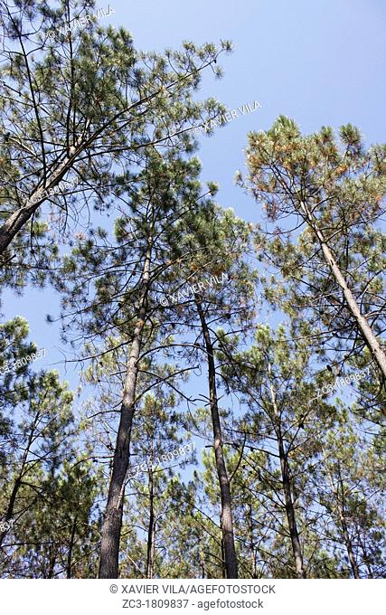Forest of Landes, Vieille-Saint-Girons, Aquitaine, France