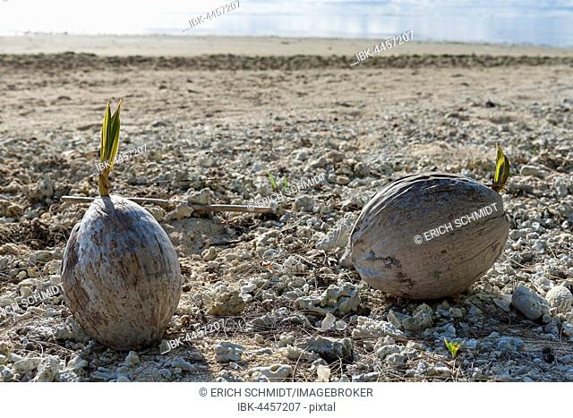 Coconuts with seed on the beach, Aitutaki Atoll, Cook Islands