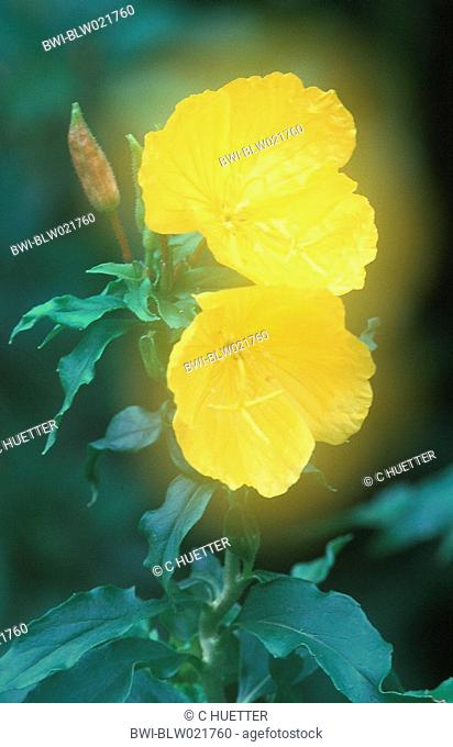golden sundrops Oenothera tetragona, double exposure