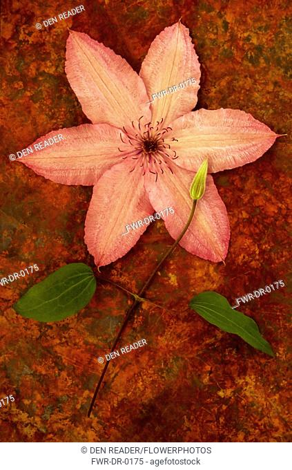 Clematis 'Hagley Hybrid'. Studio shot of pink flower lying with stem, leaves and bud on rusty sheet