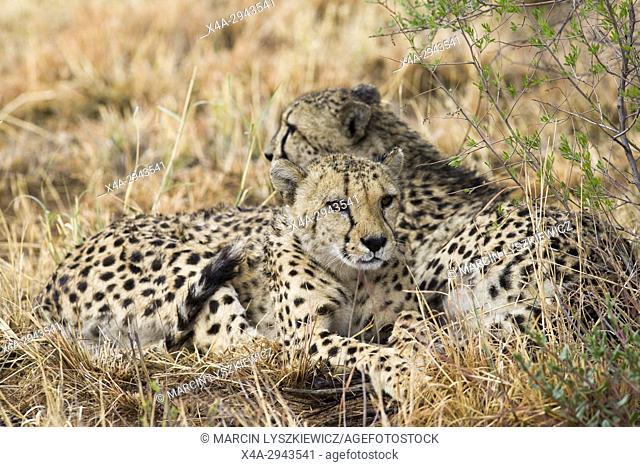 Resting pair of cheetah