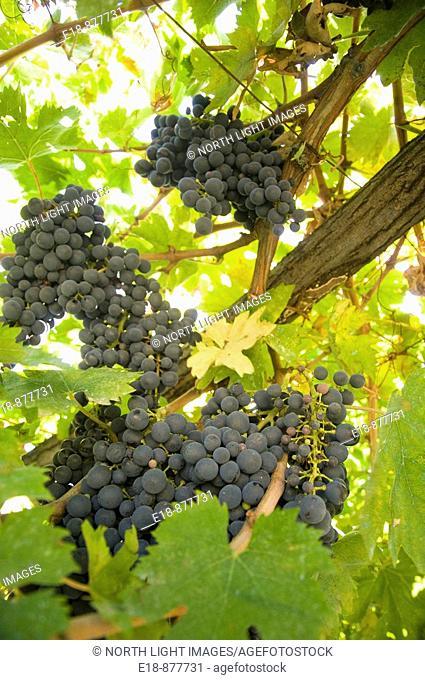 Italy, Abruzzo, near Pescara. Ripe purple grapes on the vine