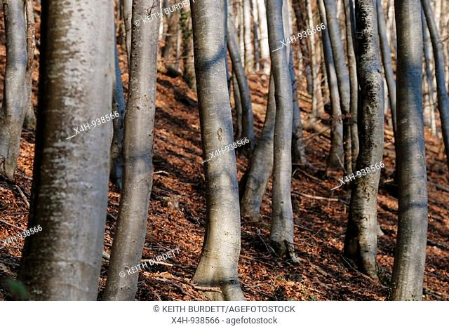 Beech trees, Fagus sylvatica in Winter, Wales