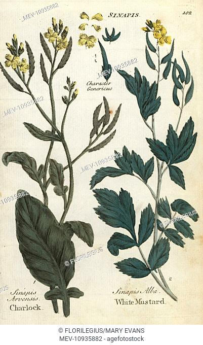 Field mustard, Sinapis arvensis, and white mustard, Sinapis alba. Handcolored botanical copperplate engraving from Joshua Hamilton's Culpeper's English Family...