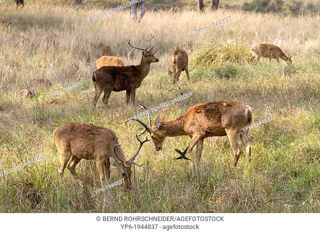 group of grazing Barasinghas (Rucervus duvaucelii), Kanha National Park, Madhya Pradesh, India