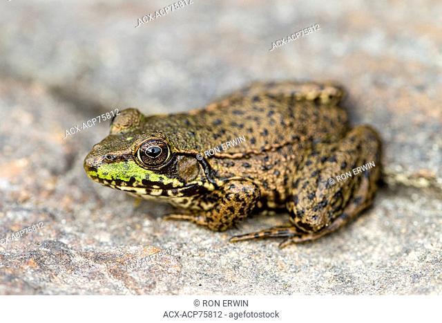 Green Frog (Rana clamitans) on a rock in Georgian Bay, French River Provincial Park, Ontario, Canada
