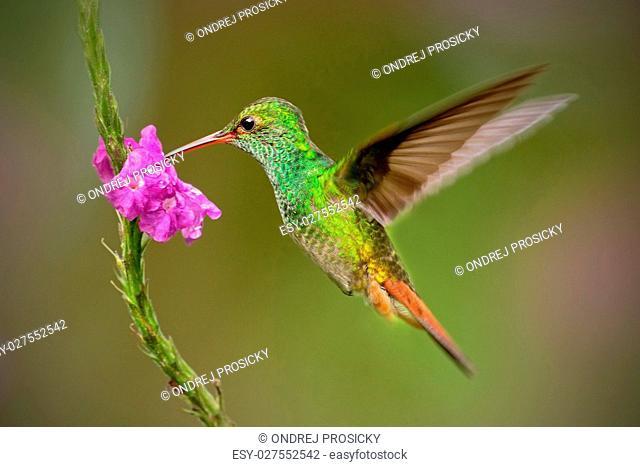 Hummingbird Rufous-tailed