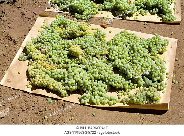 Agriculture - Harvested Thompson Seedless grapes laid out on kraft paper sheets for drying into raisins / CA