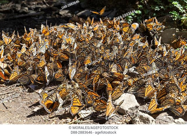 Central America, Mexico, State of Michoacan, Angangueo, Reserve of the Biosfera Monarca El Rosario, Monarch (Danaus plexippus) butterflies gathering to drink...