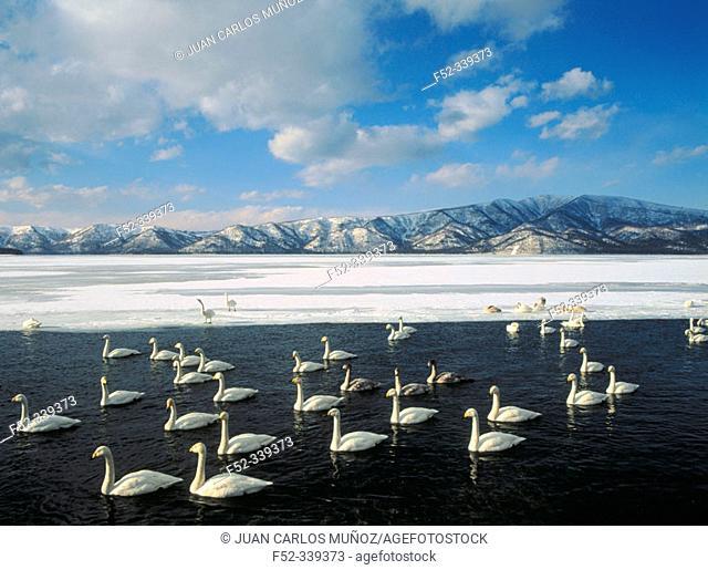 Whooper Swan (Cygnus cygnus) on Kushiro wetlands. Hokkaido, USA