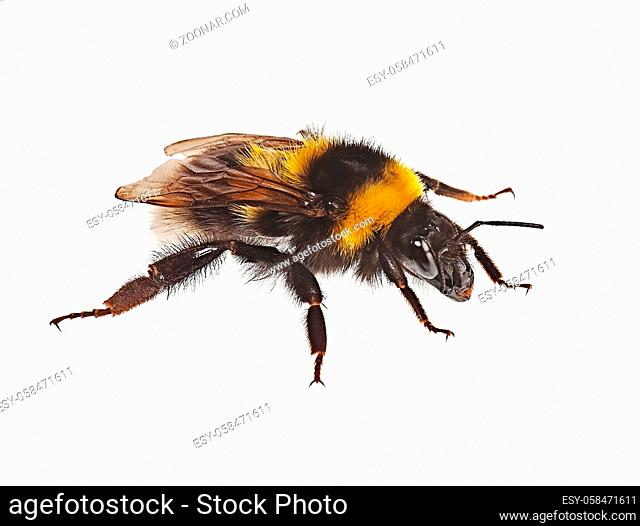 Bumblebee creeps on a white background