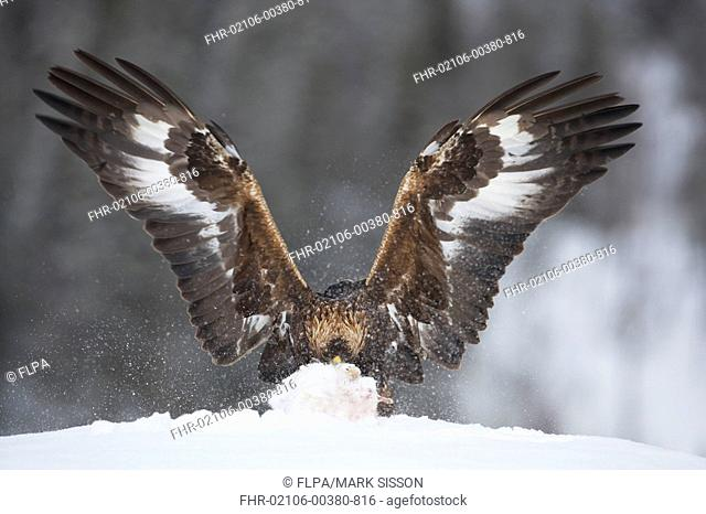 Golden Eagle Aquila chrysaetos juvenile, with wings spread, feeding on Mountain Hare Lepus timidus kill in snow, Norway, february