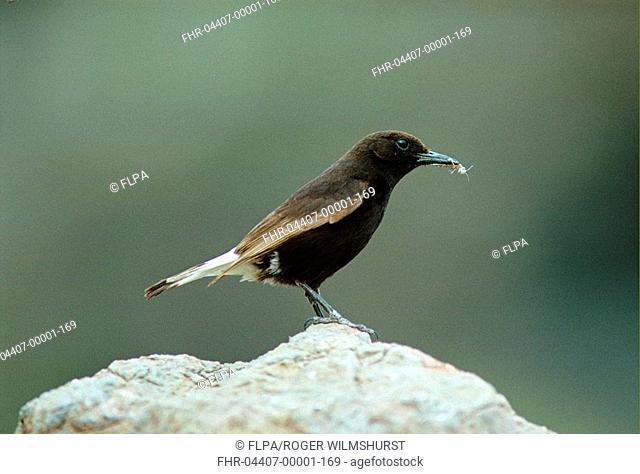 Black Wheatear Oenanthe leucura Standing on rock - food in beak - Mojacar, Spain