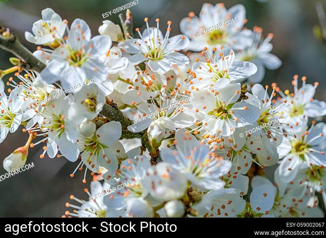detail shot showing lots of white tree blossoms at spring time