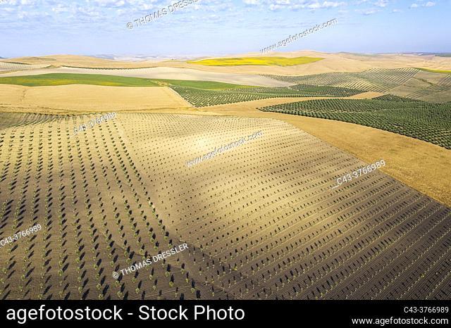 The Campiña Cordobesa, the fertile rural area south of the town of Córdoba with cultivations of olive trees (Olea europaea)