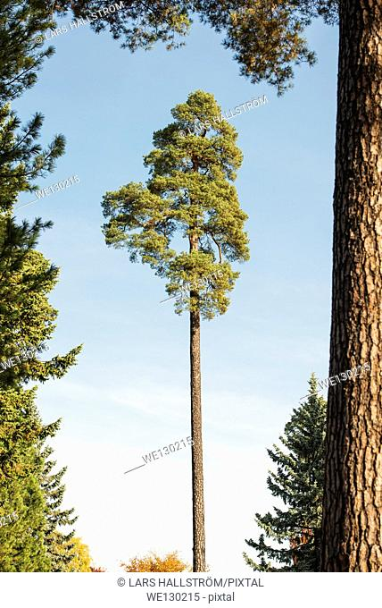 One pine tree in opening in forest, Sweden