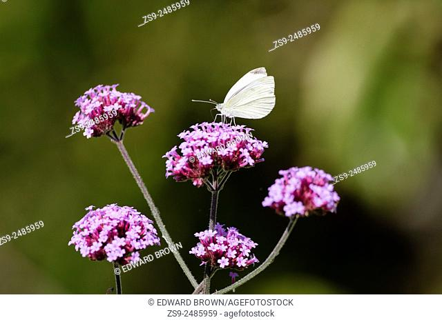 Small white or cabbage white butterfly (Pieris rapae) on Verbena flower, East Sussex garden, UK