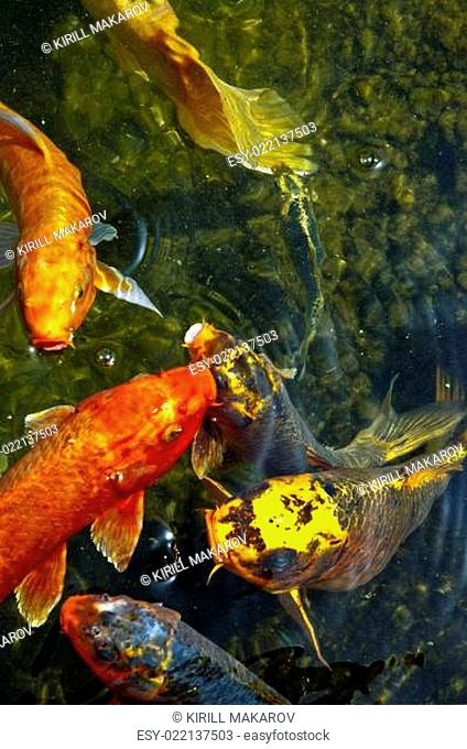 Koi fish in water, high angle view