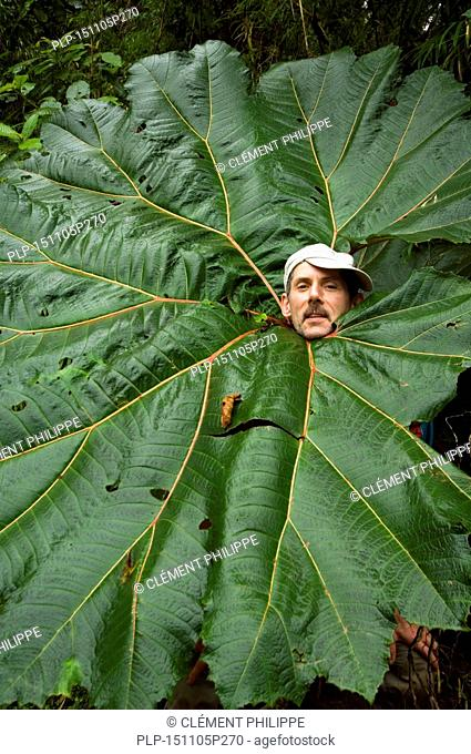 Tourist sticking head through giant leaf of poor man's umbrella (Gunnera insignis) in cloud forest, Tapanti National Park, Costa Rica