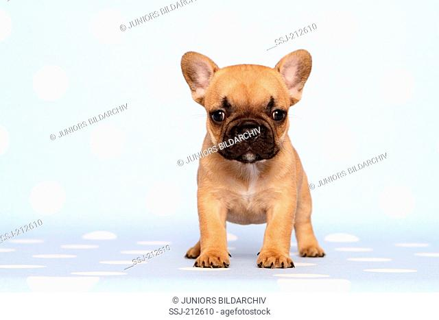 French Bulldog. Puppy (6 weeks old) standing. Studio picture against a blue background with white polka dots. Germany