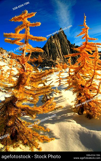 Golden Larch trees in snow with mountain peak in the background, Alpine Lakes Wilderness, Washington State, USA