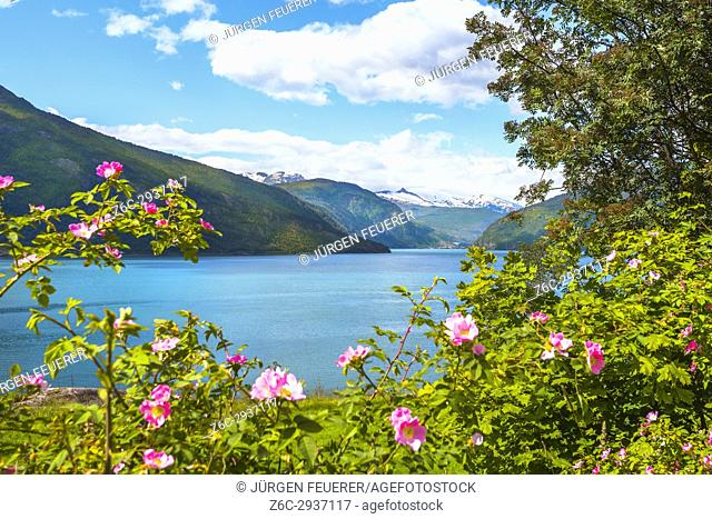 Roses and snow capped mountains at the Lustrafjorden, part of the Sognefjorden, Norway, Scandinavia