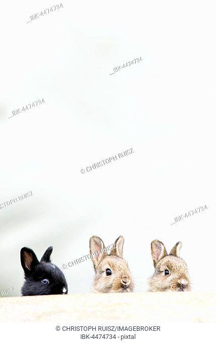 Young European rabbits (Oryctolagus cuniculus), natural habitat, Lower Austria, Austria