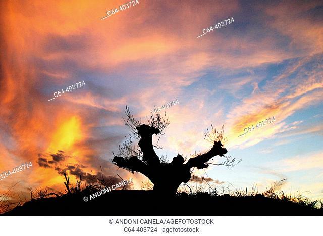 Olive tree. Sunset. Teruel. Spain